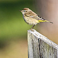 Palm Warbler by John Greco