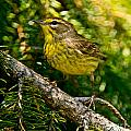 Palm Warbler Pictures 38 by World Wildlife Photography