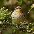 Palm Warbler by Richard Kitchen