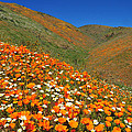Palmdale Poppies by Lynn Bauer