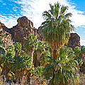 Palms Stand Tall In Andreas Canyon In Indian Canyons-ca by Ruth Hager