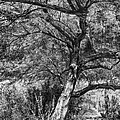 Palo Verde In Black And White by C H Apperson