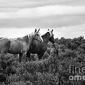 Palomino - Buttes - Wild Horses - Bw by Belinda Greb