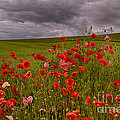 Palouse Poppies by Priscilla Burgers