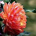 Pamela Howden Dahlia In Color by Jeanette C Landstrom