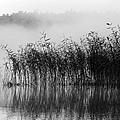 Pampas Grass In Fog by Dianne Cowen