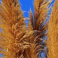 Pampas Grass by Jeff Lowe