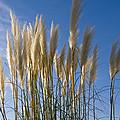 Pampas Grass by Maura Satchell