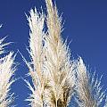 Pampas Grass by Peter Lloyd