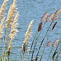 Pampas On The Lake by Maria Urso