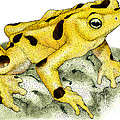 Panamanian Golden Frog by Roger Hall