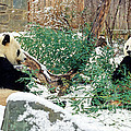 Panda Bears In Snow by Chris Scroggins