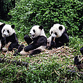 Pandas In China by Joan Carroll