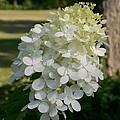 Panicled Hydrangea by Laurie Eve Loftin