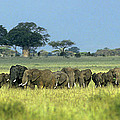 Panorama African Elephant Herd Endangered Species Tanzania by Dave Welling