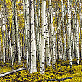 Panoramic Birch Tree Forest by Randall Nyhof