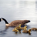 Panoramic Goose Family Outing by Lisa Knechtel