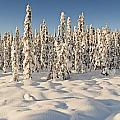 Panoramic View Of Snow-covered Spruce by Ray Bulson