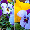 Pansies In Stereo by Duane McCullough