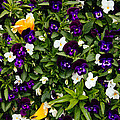 Pansies by Pati Photography