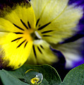 Pansy Close Up by Mark Duffy