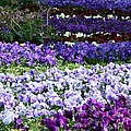 Pansy Field by Christiane Schulze Art And Photography