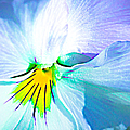 Pansy Flower 6 by Alexander Senin