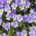 Pansy Flowers In Spring Background by Jit Lim