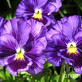 Pansy From The Chalon Supreme Primed Mix by J McCombie