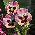 Pansy Pano 1 by Theo OConnor