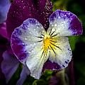 Pansy by Robert Mitchell