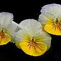 Pansy Trio by Dave Mills