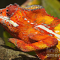 panther chameleon from Madagascar 3 by Rudi Prott