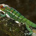 panther chameleon from Madagascar 5 by Rudi Prott