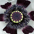 Papaver Orientale Perrys White by Tim Gainey