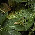 Papaya Leaves by Dorothy Hilde