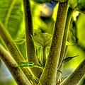Papaya Shoot by Dan Sabin