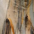 Paper Bark by Bob Phillips