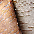 Paper Birch Bark by Scott Leslie