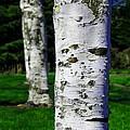 Paper Birch Trees by Aaron Berg