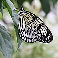 Paper Kite Butterfly by Judy Whitton
