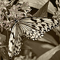 Paper Kite On Frangipani Flowers by Sandi OReilly
