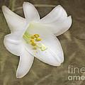 Paper Lily by Arlene Carmel