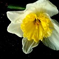 Paper White Daffodil by Kathy Barney