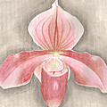 Paph. Atlantinet by Saralyn Cumberledge