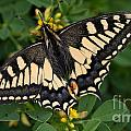 Papilio Machaon Butterfly Sitting On The Lucerne Plant by Jaroslaw Blaminsky