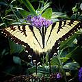 Papillon by Natasha Marco