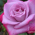 Paradise Rose by Living Color Photography Lorraine Lynch