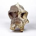 Paranthropus Robustus Cranium (sk46) by Science Photo Library