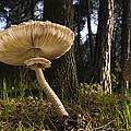 Parasol Mushrooms Pair In Forest Spain by Albert Lleal